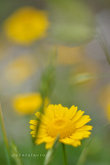 Chegou a primavera! (✿ Debora ✿) Tags: primavera nikond5200 extensiontube tuboextensor yellow flor floramarela flordocampo spring nikkor