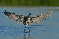 OutstretchedGBH3 (Rich Mayer Photography) Tags: great blue heron herons bird birds animal animals wild life wildlife nature fly flying wings flight avian nikon