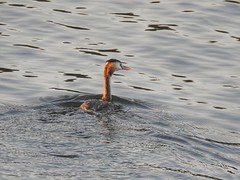 Great Crested Grebe (Simply Sharon !) Tags: greatcrestedgrebe grebe bird wildlife britishwildlife nature thryberghcountrypark october
