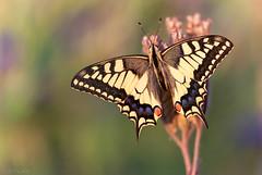 Schwalbenschwanz / Swallowtail Butterfly (MC-80) Tags: papilio machaon schwalbenschwanz swallowtail butterfly