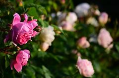 June in the Garden (Mark Wordy) Tags: mygarden flowers summer roses rosa gentlehermione alantitchmarsh