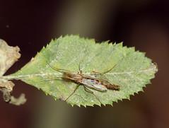 DSC_0741-Chironumus luridus (carolemason) Tags: