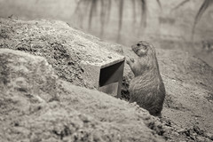 The Gatekeeper (Alfred Grupstra) Tags: animal mammal rodent cute nature wildlife small outdoors brown pets nopeople animalsinthewild fur prairiedog sand
