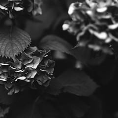Flowers (•Nicolas•) Tags: 100iso 120 analog bw buschpressman film fomapan largeformat nb nicolasthomas light shadow ombre lumière