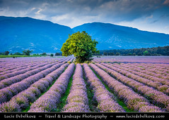 Bulgaria - Lonely tree in Lavender fields in full bloom (© Lucie Debelkova / www.luciedebelkova.com) Tags: lavender lavenderfields rosevalley bulgaria bulgarian българия bălgaria republicofbulgaria републикабългария country europe southeasterneurope easterneurope balkans landscape nature natuur natureza paysage paisaje paisagem paesaggio landschaft scenery scenic overlook outlook world exploration trip vacation holiday place destination location journey tour touring tourism tourist travel traveling visit visiting wonderful fantastic awesome stunning beautiful breathtaking incredible lovely nice sight sightseeing wwwluciedebelkovacom luciedebelkova