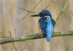 Kingfisher (Alcedo atthis) (Jud's Photography) Tags: kingfisher alcedoatthis bird uk