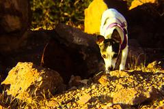 The Hunter on the Hunt (Douglas H Wood) Tags: phoebe railmutt kingmancanyon arizona nature dog man bestfriend