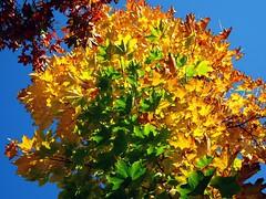Farbexplosion | Colour Explosion (André-DD) Tags: fall autumn herbst baum tree leaves leaf blatt blätter laub färbung foliage colours outside natur nature