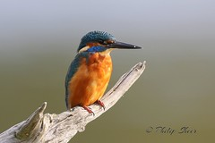 Kingfisher (Male) at Warnham Nature Reserve. (philsheer) Tags: kingfisher warnhamnaturereserve
