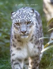 Snow Leopard - Panthère des Neiges ( Jean-Yves JUGUET ) Tags: snowleopard panthèredesneiges félin asiecentrale mongolie chine inde kirghizstan leopard panthère tibet