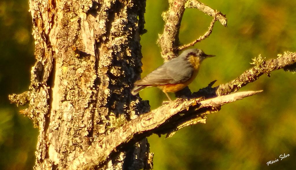 Águas Frias (Chaves) - ... ave (?) em ramo de árvore ...