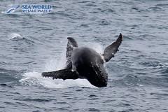 Flying through the air! (Sea World Whale Watch) Tags: seaworldwhalewatch seaworldwhalewatching seaworld seaworldcruises sea humpbackwhale humpbackwhales humpback humpbackwhaletail humpbacktailfluke humpbacktailflukes breach breaching breachingwhale babywhale boat goldcoast goldcoastwhalewatching goldcoastwhalewatchingtours goldcoastwhalewatch goldcoastskyline whalewatching whalewatchinggoldcoast whalewatchingtoursaustralia whale motherandcalf calf calves australia adultwhales