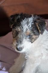 GFC_0246 (Willini) Tags: willini fox terrier foxterrier amigo lente bohke nikon mascota animal ternura