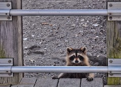 Young Raccoon (Ben Kuropat) Tags: hammonasetbeachstatepark raccoon wildlife