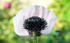 June in the Garden (Mark Wordy) Tags: mygarden summer flowers orientalpoppy papaverorientale petals