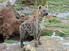 Snacks for the hyenas (Schwanzus_Longus) Tags: alpha animal creature critter crocuta curious dirty female furry german germany hunter hyena jaws king laughing leipzig lion majestic male power predator rival spotted strong wild zoo