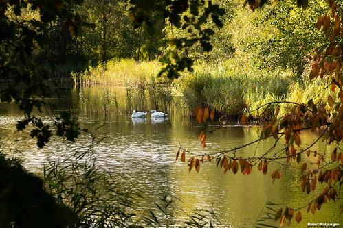 Zwanen - Cisnes - Swans