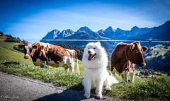 Tout le monde prend la pose (Kilian Savage) Tags: suisse gruyère enhaut chateaudoex montagne landscapes mountain paysages nature sauvage motherwood wild randonnée hiking dog chien animal samoyede samoye vache cow