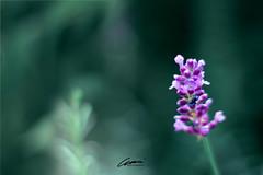 Pinkie (mártaczuczi) Tags: nature hungary marta czuczi green purple