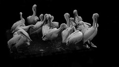 the gathering (frax[be]) Tags: birds pelican 45mm rokkor fuji outdoor highcontrast noiretblanc monochrome blackandwhite bw