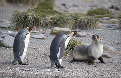 KIng Penguins (richard.mcmanus.) Tags: kingpenguins penguins subantarcticislands southgeorgia salisburyplain bird wildlife animal antarctica mcmanus