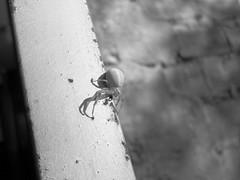 Spider (Edgar Cornejo) Tags: white black grayscale spider araña blanco negro