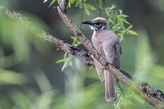 c7l_0920 (steve happ) Tags: australia littlefriarbird manilla namoiriver newsouthwales philemoncitreogularis