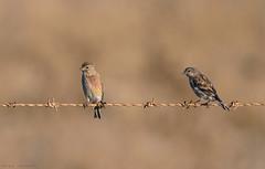 No seáis pardillos (sergio estevez) Tags: aves atardecer bokeh color campodegibraltar fauna kenko15x luz naturaleza nikonafs300mmf4 pajaros posadero rojo sergioestevez