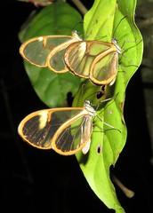 Episcada hymenaea and Episcauda claudina (Birdernaturalist) Tags: bolivia butterfly danainae ithomiini lepidoptera nymphalidae richhoyer