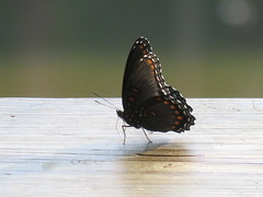 Congaree National Park (JJP in CRW) Tags: insects butterflies southcarolina nationalparks congaree