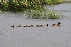 """Is this known as """"getting all your ducks in a row""""? (jpotto) Tags: uk lancashire leightonmoss rspb birds ducks mallard ducklings"""