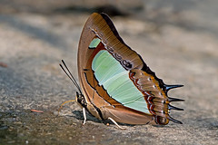 Polyura arja - the Pallid Nawab (BugsAlive) Tags: butterfly mariposa papillon farfalla 蝴蝶 schmetterling бабочка conbướm ผีเสื้อ animal outdoor insects insect lepidoptera macro nature nymphalidae polyuraarja pallidnawab charaxinae wildlife doisutheppuinp chiangmai ผีเสื้อในประเทศ ไทย liveinsects thailand thailandbutterflies nikon105mm bugsalive ผีเสื้อม้าเขียวแถบจาง