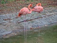 Flamingos (sharon.corbet) Tags: flamingo bird stadtpark mainz germany rheinlandpfalz rhinemain pfalz palatinate 2018