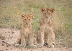 Lion Cubs - Panthers leo (rosebudl1959) Tags: 2017 kenya masaimara zebraplains lioncubs