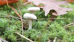 (Landanna) Tags: fallingintoautumn autumn autumncolours fall farverafefterår efterår efterårsfarver herfst herfstkleuren fungi