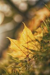 Resting (flashfix) Tags: october262018 2018inphotos flashfix flashfixphotography ontario canada nikond7100 40mm nature mothernature trees autumn leaves yellow grass leaf flipped
