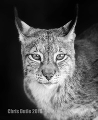 DSD00485 (montusurf) Tags: malika predator siberian lynx care centerforanimalresearchandeducation portrait bw black white bridgeport texas