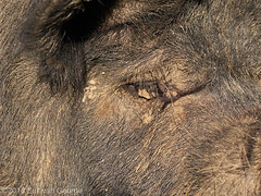 Piggy Eye (the.sullivan) Tags: pigs porcine towningsfarm piglet chailey snouts mud photography sussex sow boar rural farm microfourthirds hog piggyeyes