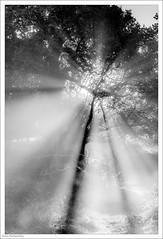 Let There Be Light 270/365 (John Penberthy ARPS) Tags: 27sep18 d750 nikon mist mono richmondpark johnpenberthy rays trees 3652018 365the2018edition day270365 backlight sun blackandwhite monochrome light
