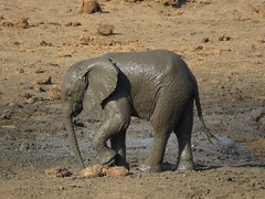 ( baby ) Elephant /   ( baba)  olifant (Pixi2011) Tags: elephants wildlife krugernationalpark africa nature coth coth5