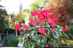 IMG_2474 (akis88) Tags: greece aliartos viotia moulki flowers automn