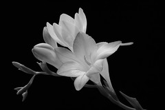Freesia (Sandra Humphries) Tags: indoorlight lensbabyvelvet56 flowers mauveflowers freesias f16 mauvefreesias canon760d blackbackground