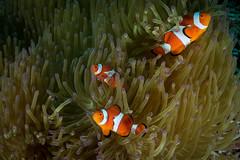 IMG_7064 (Gil Xavier) Tags: underwater scuba philippines canon fantasea g7xmk2 cebu moalbal turtlebay