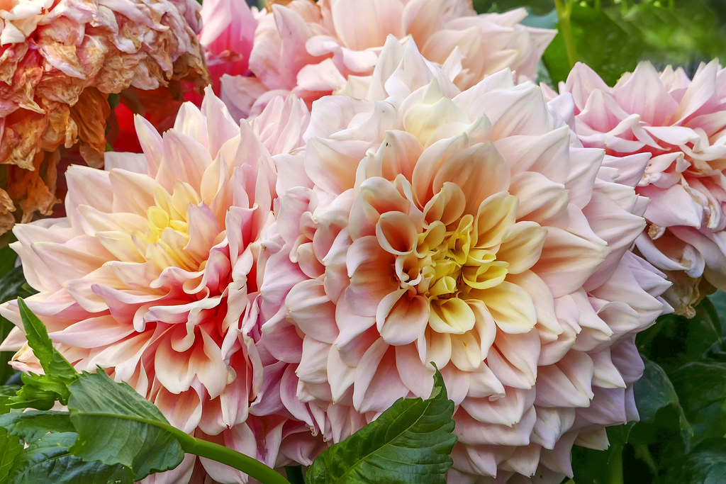 The World S Best Photos Of Dahlia And Petales Flickr Hive Mind
