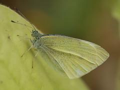 gut getarnt (lebastian) Tags: panasonic dmcgx8 olympus m60mm f28 macro schmetterling butterfly