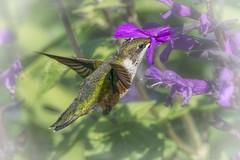 LoadingZone (jmishefske) Tags: 2018 d850 nikon halescorners flower whitnall milwaukee salvia september eating flight feeding bird gardens botanical fall park hummingbird boerner bif wisconsin
