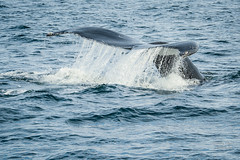 USA | Cape Cod Humpback Whale (Nicholas Olesen Photography) Tags: usa humpback whale tail fluke diving water swimming cape cod travel nikon d7100 outdoors horizontal wildlife nature