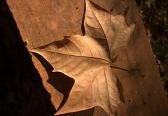 Autunno - (dona(bluesea)) Tags: autunno autumn foglia leaf ortobotanico botanicalgarden palermo sicilia sicily