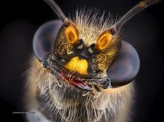 Hi there!! (Wasp) (Carballada) Tags: macrophotography macro macrofotografia stacked insecto insect bug animal