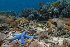 Linckia laevigata (Fernando_Iglesias) Tags: blue starfish reef komodo diving coralreef